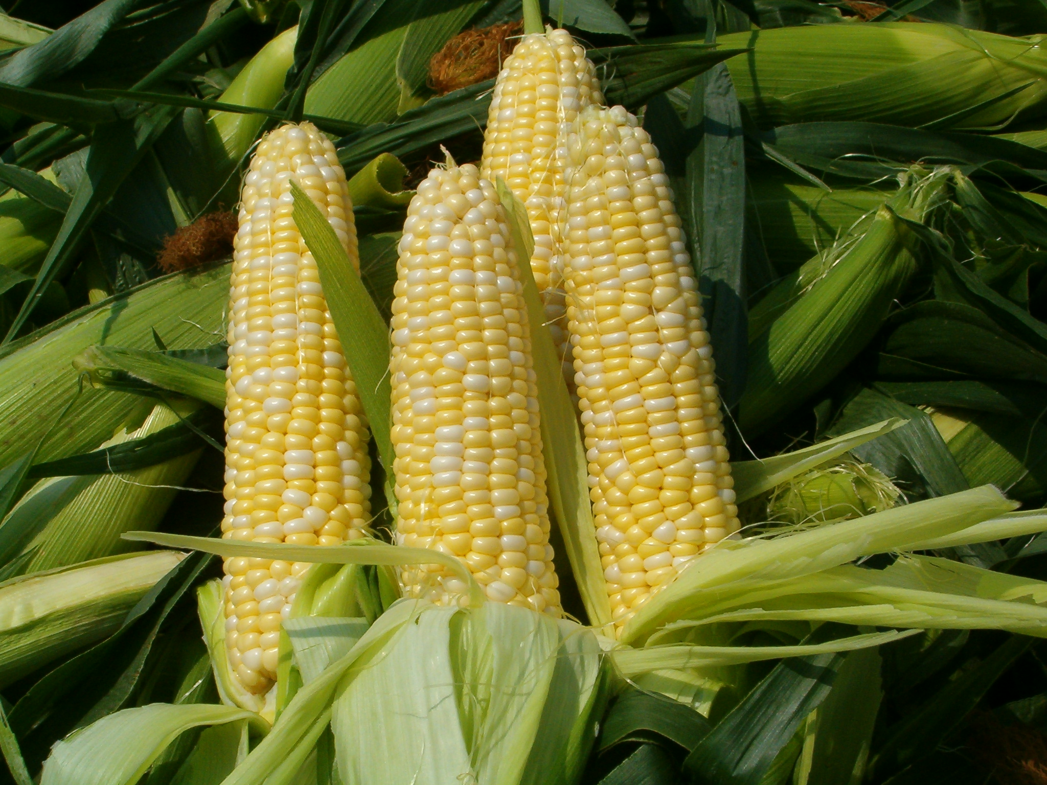 The Politics of Corn | Bankable Insight for American Corn Farm  58cpg